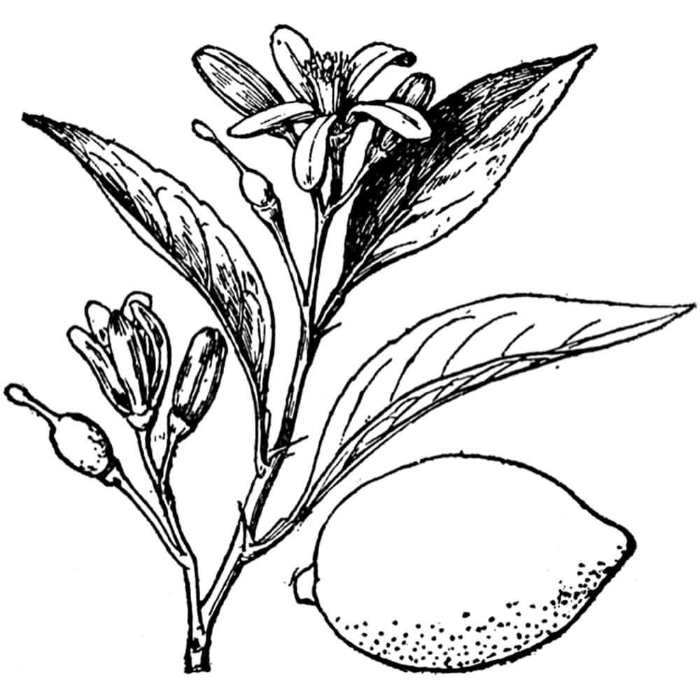 Začimba - Limona